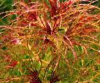 Аквариумное растение Наяс Рорайма